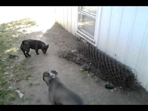 pitbull mixed  chihuahua pithuahua youtube
