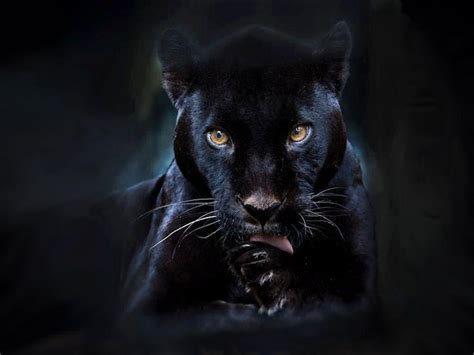 black panther backgrounds wallpaper cave