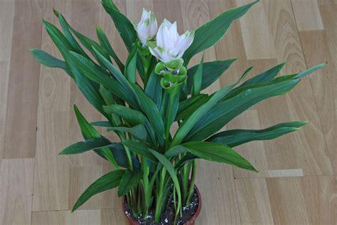curcuma pflanze pflege curcuma alismatifolia safranwurz