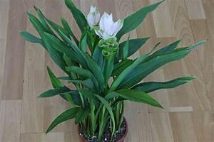 Kurkuma Pflanze Pflege : curcuma alismatifolia safranwurz ~ Eleganceandgraceweddings.com Haus und Dekorationen