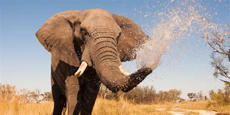 warum kriegen elefanten keinen krebs