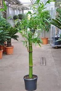 Bambus Pflegen Zimmer : zimmerbambus kaufen zimmerbambus kaufen gl cksbambus ~ Lizthompson.info Haus und Dekorationen