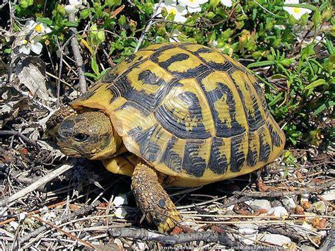 plan de sauvegarde de la tortue d hermann dans le var les nouvelles sont bonnes page 2 of 3