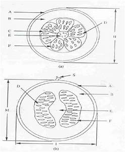 Transverse And Longitudinal Sections Of An Melon Fruit   A