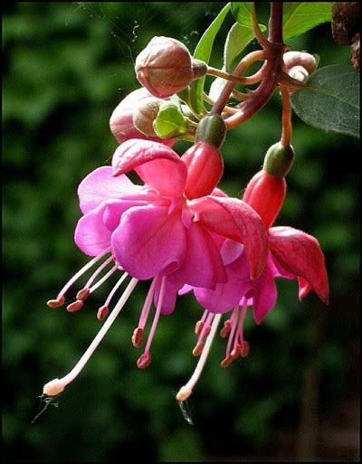 fuchsia name fuchsia plant care care instructions for fuchsia