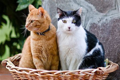 history of the common house cat the favored