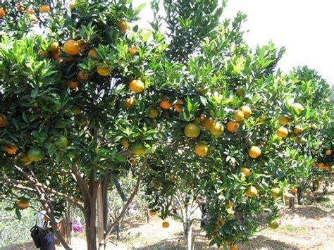 budidaya jeruk keprok bibit