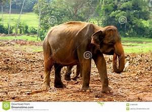 Asian Baby Elephant Stock Photo - Image: 57883496