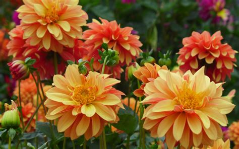 Dahlia Flower Garden Plants Light And Dark Orange Colored