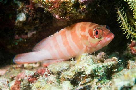 fish striped grouper reef blacktip coral anilao fasciatus perched epinephelus philippines variation dorsal spines common tips source