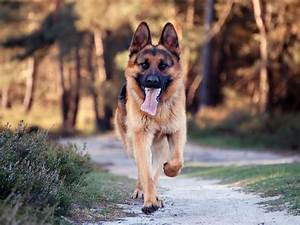 Animals: German Shepherd| Dogs