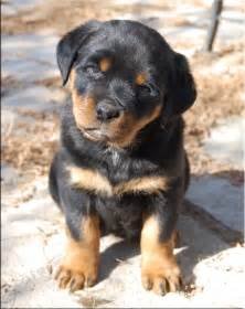 I Love Rottweiler Puppies