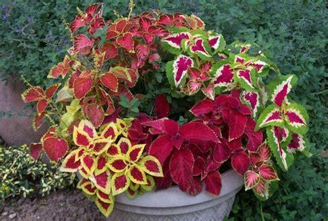 colorful indoor plants low light colorful plant for indoor 927x627 jpg 927 215 627 декоративно лиственные растения pinterest