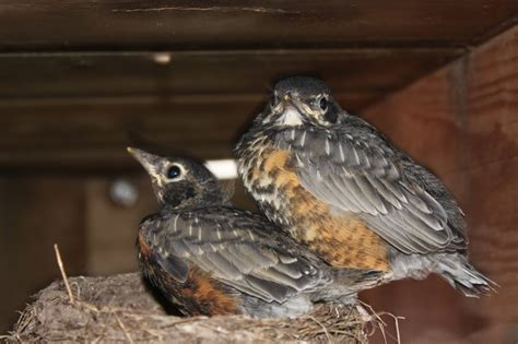 baby robins about to leave the nest critters pinterest
