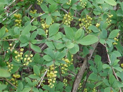 common flowering shrubs common barberry berberis vulgaris l 01b flowering trees bushes and shrubs of sleepy