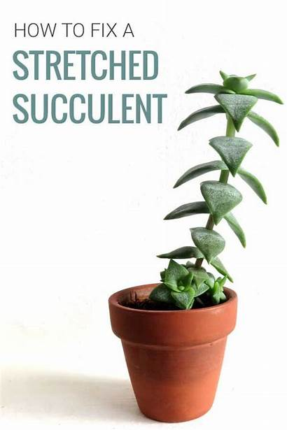 Succulent Succulents Stretched Fix Tall Plants Different