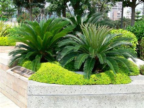 Cica - Cycas Revoluta | Jardins pequenos, Jardinagem e ...