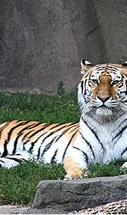 Whirl...Amur Tiger   Whirl is a female Amur Tiger at the ...