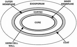 Spore Structure  The Various Layers Of A Typical Spore Are