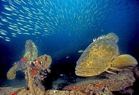 goliath grouper sea creatures gulf mexico endangered underwater species most fish marine ocean jewfish under visit otter atlantic