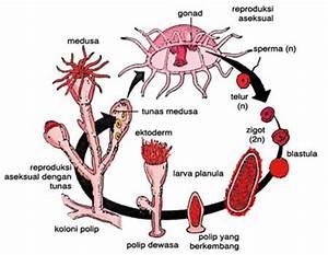 Metagenesis Hydra | Wecca's Blog