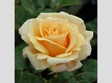 Diamond Jubilee Bush Rose Peter Beales Roses the