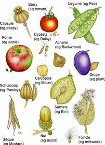 Botanical Terms For Fruit Types