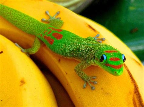 gold dust day gecko  sale    buy gold dust