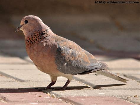 bird of the week week 33 laughing dove wilkinson s world