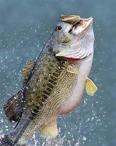 Diagram Of A Bass Fish