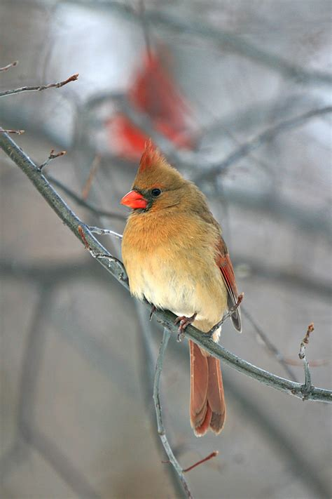 Female Cardinal Bird