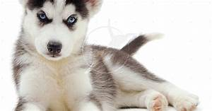 Cute Puppy Dogs: White Siberian Husky Puppies