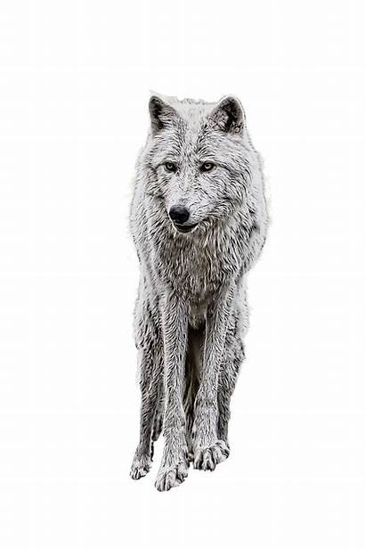 Wolf Manipulation Pixabay Transparent Royalty Vector Graphics
