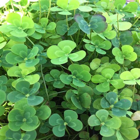 four leaf clover givhandys 4 in potted variegated four leaf clover bog