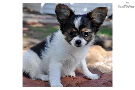 meet tri color male  cute papillon puppy  sale