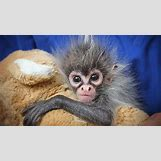 Baby Spider Monkey Pictures | 650 x 366 jpeg 63kB
