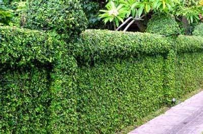 membuat pagar tanaman