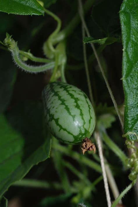 Cucamelon Plant Info  Tips For Growing Mexican Sour