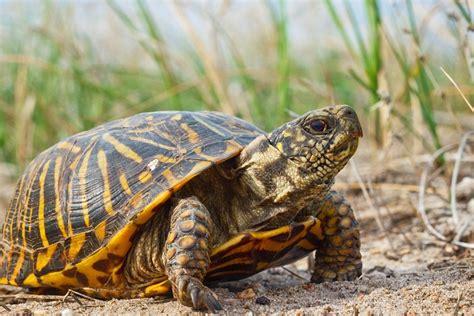 box turtle ornate box turtle facts habitat diet adaptations video