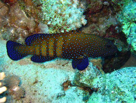 grouper spotted fish aquarium saltwater groupers
