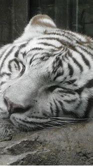 sleeping white tiger | Flickr - Photo Sharing!