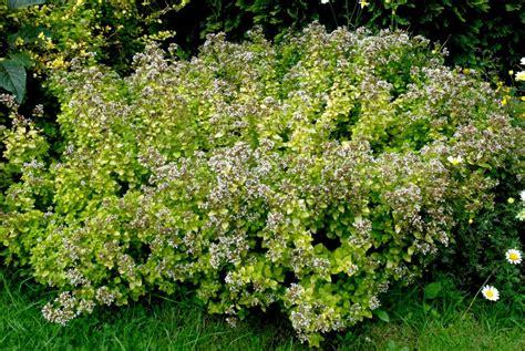 plante aromatique cuisine origan planter et cultiver ooreka