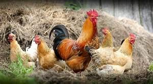 Hühnerhaltung Im Wohngebiet : h hner halten im garten grundlagen der h hnerhaltung f r anf nger ~ Eleganceandgraceweddings.com Haus und Dekorationen