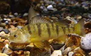 Yellow Perch | Michigan Sea Grant
