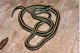 Yellow black striped snake florida