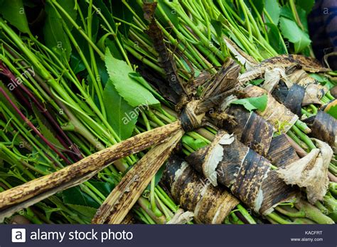 Khat Plant Stock Photos & Khat Plant Stock Images Alamy
