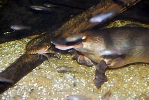 Feeding Habits - Duck-Billed Platypus Endangerment Project