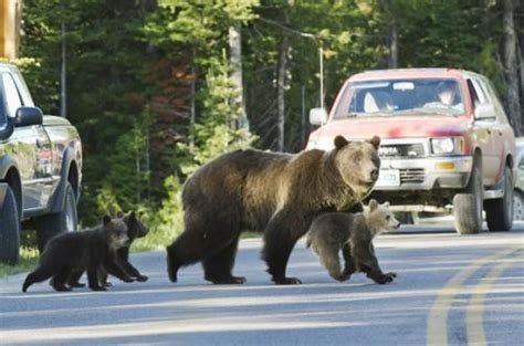 grizzly  parades  crop  cubs  tetons