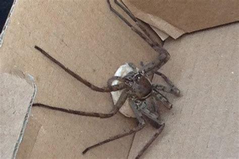 monster spider carrying  egg sac leapt  london eco