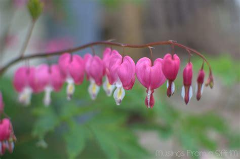 Beautiful Spring Flowers  Bleeding Hearts  Living Well Mom